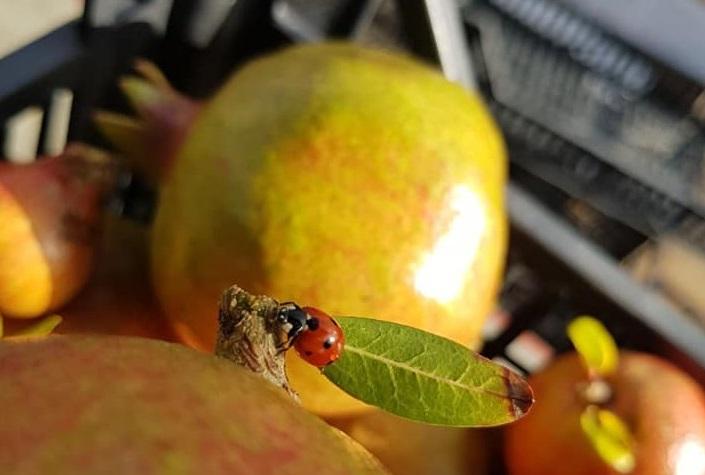 Santa Maria La Longa – I frutti dell'autunno