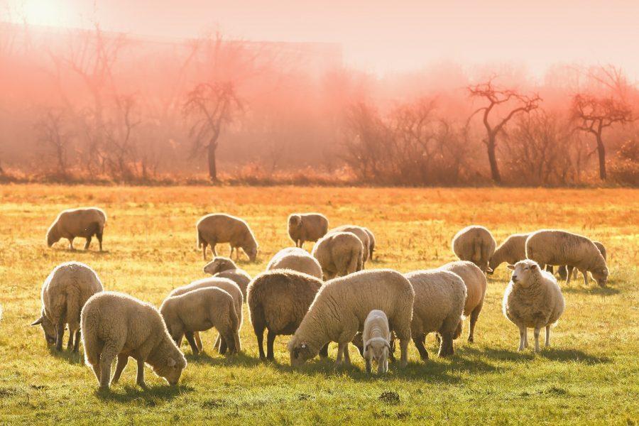 XVI Domenica del Tempo Ordinario – Come pecore in cerca del Pastore